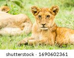 A Lion Cub Resting In The...