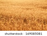 Fields Of Wheat At The End Of...
