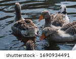 Wild Geese Flock Eating In The...