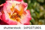 English Roses Garden. Rosarium...