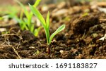 Corn Seedlings For 4 Weeks To...
