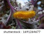 Virginian Tiger Moth...
