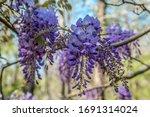 A Purple Flowering Wisteria...