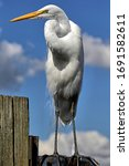Standing Great Egret With...