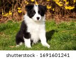Cute Border Collie Puppy...