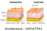 collagen and elastine. Younger and older skin. Visual representation of skin changes over a lifetime. Collagen and elastin form the structure of the dermis making it tight and plump. Vector diagram