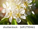 Pear Blossoms On A Tree In...
