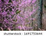Eastern Redbud Tree  Cercis...