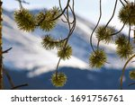 Pine tree branches close up & Peak 10 in the background, Breckenridge ski resort, CO, USA - stock photo