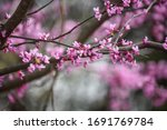 Abstract Of Eastern Redbud Tree ...