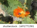 A Prickly Pear Cactus With Red...