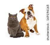 Stock photo a beautiful english bulldog and a pretty gray cat sitting nicely together and looking at the camera 169196165