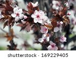 Spring Flowering Ornamental Plum