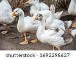 A free range duck farm with a...