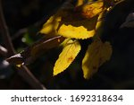 Sunlight On Yellow Mulberry...