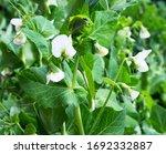 Pea Plant Flower. Green Pea...