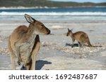 Kangaroos Relaxing On The Beach