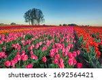 Colorful Blossoms In Tulip...