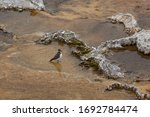 A small killdeer bird soaking its feet in the worm geothermal waters of a shallow pool with travertine formations at Mammoth Hot Springs in Yellowstone National Park, Wyoming.