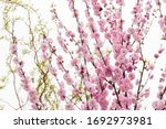 Cherry Blossom Tree Flower...