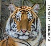 Bengal Tiger Face.