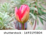 A Spring Red Tulip About To...