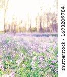 Ground Full Of Purple Flowers...