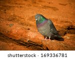 a rock dove lives up to it's... | Shutterstock . vector #169336781