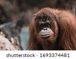 Orangutan Starring At The Camera