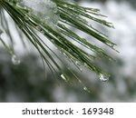 This is a extreme close-up of some melting snow water droplets on some pine needles .  - stock photo