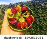 Venus Flytrap In A Green Pot ...