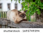 Siamese Cat Is Sitting On The...