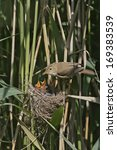 Small photo of Reed warbler, Acrocephalus scirpaceus, single bird on nest, UK