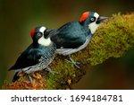 Acorn Woodpecker  Melanerpes...