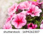 Summer Garden. Pink Petunia...
