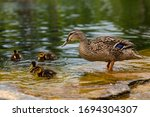 Small photo of Duck's family. Mallard duck female, Anas platyrhynchos, with six baby ducklings paddling in water. Mother duck swimming with newly hatched baby ducks. Duck on the water. Mallard bathing.