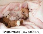 A Mini Chihuahua Puppy Is...