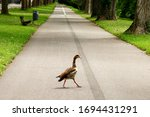Small photo of A wild goose walks along an empty footpath in a public park during self-isolation. After the arrival of coronavirus, wild animals began to return to the territories occupied by people