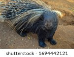 Cape Porcupine Or South Africa...