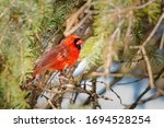 Red Cardinal Hiding Under The...