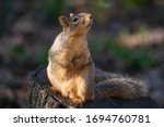A Fox Squirrel Looks Up At A...
