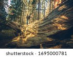 California Sierra Nevada Forest Exploration. Caucasian Men with Backpack on a Fallen Giant Sequoia. United States of America. Travel Industry Theme. - stock photo