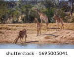 Group Of Giraffes On Lake Side...