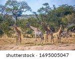 Small Group O F Giraffes...