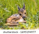 Baby Roe Deer  Capreolus...