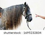 Dapple Grey Andalusian Horse...