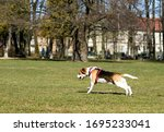 Show dog of breed of beagle on...