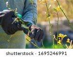 Gardener pruning rose bushes in spring. Spring pruning roses - stock photo