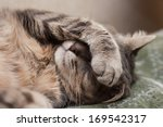 Cute Sleeping Gray Domestic Cat ...