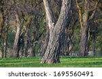 Impressionistic Style Artwork of Mature Trees on an Early Spring Morning
